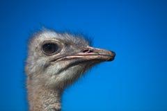 Retrato principal da avestruz Fotografia de Stock