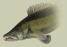 Retrato principal de la pesca de Zander Fotos de archivo