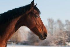 Retrato principal do cavalo Fotos de Stock