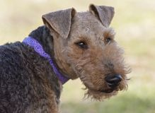 Retrato principal do close up de galês Terrier foto de stock
