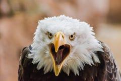 Retrato principal do leucocephalus do Haliaeetus da águia americana fotos de stock royalty free