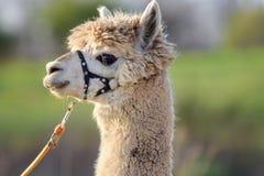 Retrato principal fêmea do tiro da alpaca branca Fotos de Stock