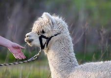 Retrato principal masculino do tiro da alpaca branca Fotos de Stock