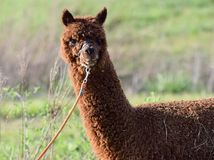 Retrato principal masculino do tiro da alpaca de Brown Foto de Stock