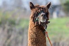 Retrato principal masculino do tiro da alpaca de Brown Fotos de Stock