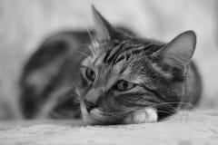 Retrato que encontra-se na cama de um gato doméstico listrado Imagem de Stock
