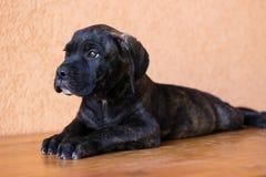 Retrato querido del perrito Fotos de archivo