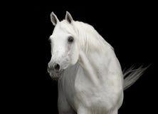 Retrato árabe blanco del semental del caballo en negro Imágenes de archivo libres de regalías