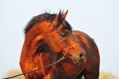 Retrato árabe del caballo Imagenes de archivo