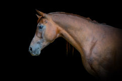 Retrato árabe del caballo de bahía en fondo negro Imagen de archivo