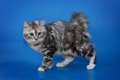 Retrato rabicorto del gato en fondo azul Imagen de archivo
