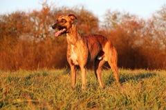 Retrato rajado bonito do cão de corrida no parque imagens de stock royalty free