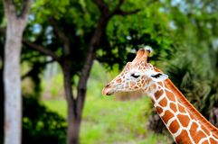 Retrato reticulado de la jirafa en parque zoológico Imagen de archivo libre de regalías