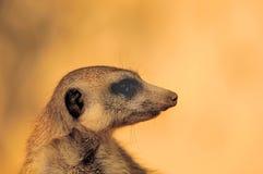 Retrato retroiluminado de Meerkat Fotografía de archivo libre de regalías