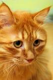 Retrato rojo Bobtail del gato Fotografía de archivo libre de regalías