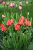 Retrato rojo de los tulipanes Fotografía de archivo libre de regalías