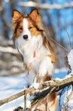 Retrato rojo del collie de frontera en invierno Fotos de archivo