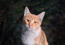 Retrato rojo del gato Fotos de archivo