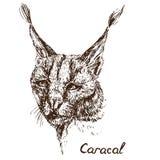 Retrato rojo del gato, del rooikat, rojo o persa de Caracal del lince libre illustration