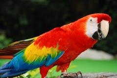 Retrato rojo del pájaro del macaw Imagenes de archivo