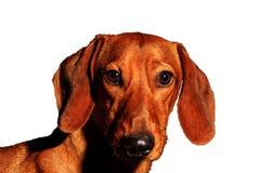 Retrato rojo del perro de un símbolo del año en un fondo blanco Imagenes de archivo