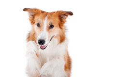 Retrato rojo del perro del border collie, aislado en blanco Fotografía de archivo