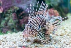 Retrato rojo hermoso de las millas del Pterois del lionfish fotos de archivo libres de regalías