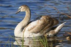 Retrato romântico de uma cisne foto de stock royalty free