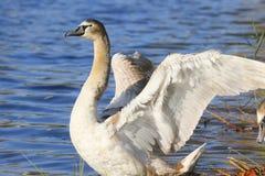 Retrato romântico de uma cisne foto de stock