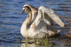 Retrato romântico de uma cisne imagens de stock royalty free