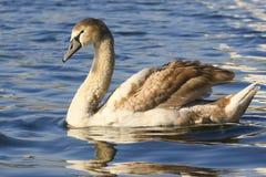 Retrato romântico de uma cisne fotos de stock