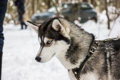 Retrato ronco do cão da raça no inverno Imagens de Stock Royalty Free