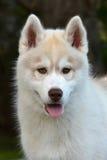 Retrato ronco do cachorrinho Fotografia de Stock Royalty Free