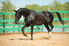 Retrato ruso negro del caballo del trotón en el movimiento Imagen de archivo