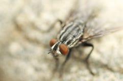 Retrato salvaje de la mosca en verano Imagen de archivo libre de regalías