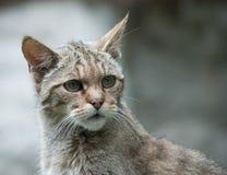 Retrato salvaje del gato Imagen de archivo libre de regalías