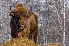 Retrato salvaje del mamífero del bisonte Fotos de archivo