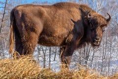 Retrato salvaje del mamífero del bisonte Foto de archivo libre de regalías