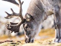 Retrato salvaje del reno - ártico, Svalbard Imagen de archivo libre de regalías