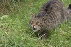 Retrato salvaje escocés del gato imagen de archivo libre de regalías