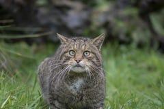 Retrato salvaje escocés del gato fotos de archivo libres de regalías