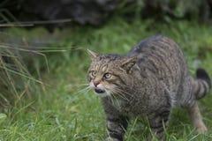 Retrato salvaje escocés del gato foto de archivo libre de regalías