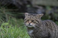 Retrato salvaje escocés del gato imagen de archivo