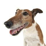 Retrato selvagem do ângulo de Jack Russell Terrier em um estúdio branco Foto de Stock