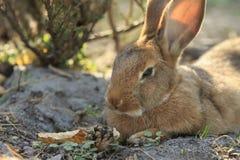 Retrato selvagem do coelho de Brown Fotografia de Stock Royalty Free