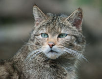 Retrato selvagem do gato Foto de Stock Royalty Free