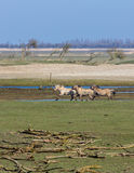 Retrato selvagem running dos cavalos de Konik Imagens de Stock