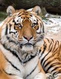 Retrato Siberian da cabeça do tigre Fotografia de Stock
