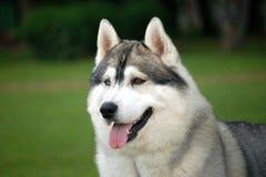 Retrato Siberian do cão Imagem de Stock Royalty Free