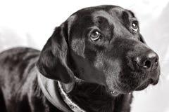 Retrato simples de um Labrador preto Foto de Stock